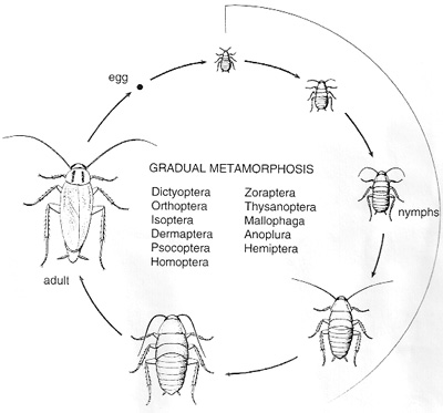 The cockroach is vulnerable to control at any time in its life cycle